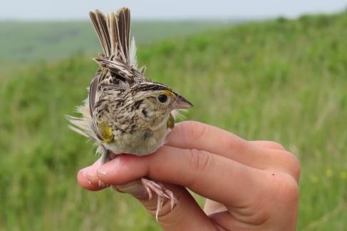 Banding a Grasshopper Sparrow