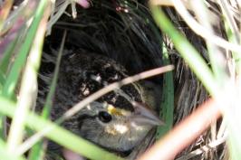 Female Grasshopper Sparrow on nest