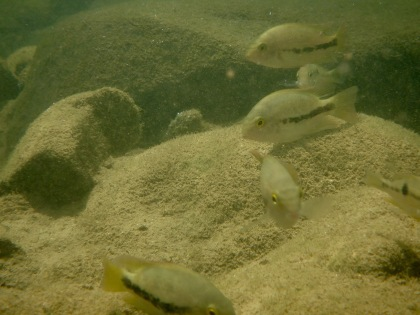 A group of cichlid fishes (Vieja bifasciata and Thorichthys helleri) in their natural habitat, a stream in the foothills of the Sierra Madre de Chiapas mountains in the Mexican state of Chiapas. Photo Credit: Ryan Greenway