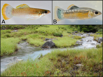A. A male Atlantic molly from a regular freshwater stream. B. A male molly from a toxic sulfidic stream. C. An area where a clear freshwater stream (left) and cloudy sulfidic stream (right) flow together.