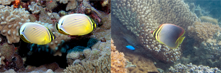 Chaetodon Butterflyfishes