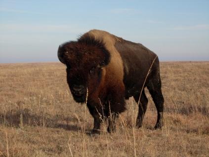 bison EvaHorne